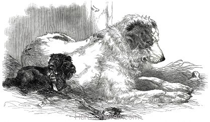 1847 HM presents St.Bernard to Zoological Society