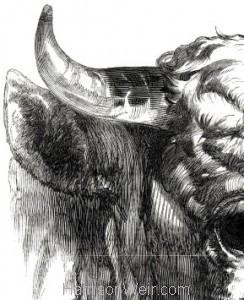 Detail: 1847 Short Horn Bull by Harrison Weir