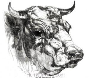 Detail: 1847 Head of Short Horn Bull by Harrison Weir