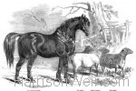 1847 Prize Stallion and Sheep, Northamption 1847 by Harrison Weir