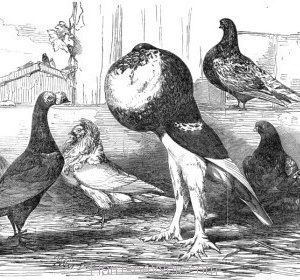 1851 Pigeons exhibited at the Philoperisteron Society by Harrison Weir