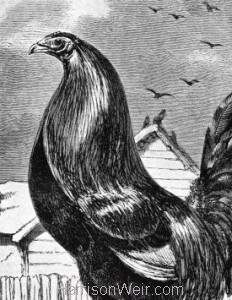 Detail: 1853 Game Cock by Harrison Weir