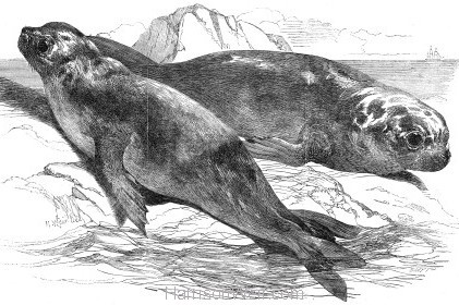 1853 Sea Elephants by Harrison Weir