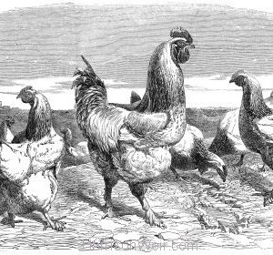 1853 Shanghae Fowls presented to Her Majesty by Harrison Weir