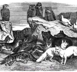 1854 Arctic Foxes and Birds received by the Zoological Society by Harrison Weir
