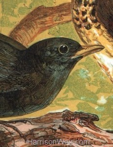 Detail: Blackbird and Thrush by Harrison Weir