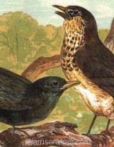 Detail: Blackbird and Thrush, by Harrison Weir