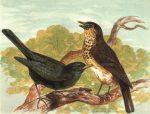 1854 Blackbird and Thrush Frontispiece by Harrison Weir