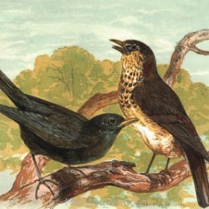 1854 Blackbird and Thrush Frontispiece by Harrison Weir