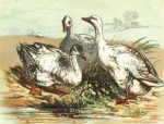 1854 Geese by Harrison Weir