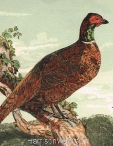 Detail: Pheasant, by Harrison Weir