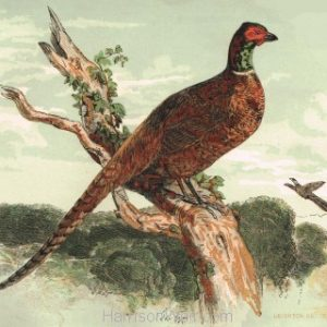 1854 Pheasant, by Harrison Weir