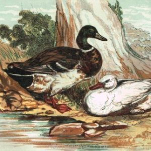 Waterfowl Print Landscape Format