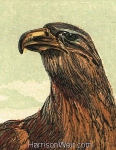 Detail: The Golden Eagle, by Harrison Weir