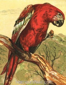 Detail: The Macaw, by Harrison Weir