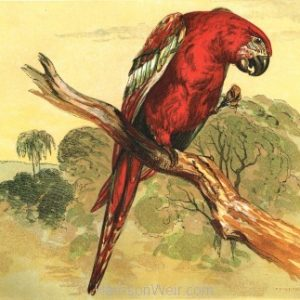 1854 The Macaw, by Harrison Weir