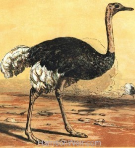 Detail: The Ostrich, by Harrison Weir