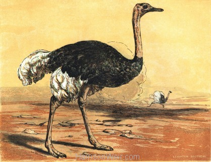 1854 The Ostrich, by Harrison Weir