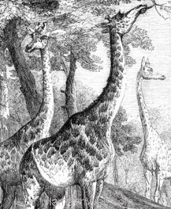Detail: 1858 Giraffes by Harrison Weir