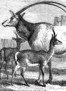 Detail: 1858 Leucoryx & Gazelles by Harrison Weir