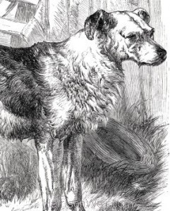 Detail: 1858 Drovers Dog by Harrison Weir