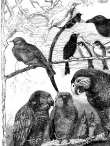 Detail 2: 1858 Birds from the Crystal Palace Show by Harrison Weir