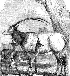 1858 Leucoryx and Gazelles by Harrison Weir