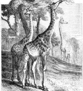 1858 The Giraffes