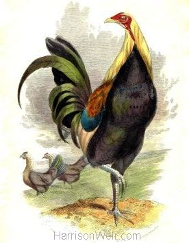 1859 Game Cock by Harrison Weir