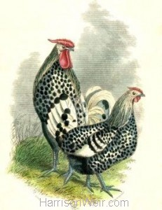 1859 Silver Spangled Hamburgh by Harrison Weir