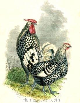 1859 Silver Spangled Hamburgh by Harrison Weir