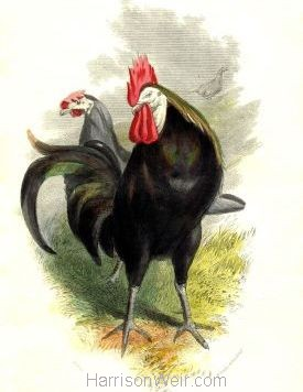 1859 Spanish Poultry by Harrison Weir