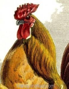 Detail: 1859 Golden Pencilled Hamburgh by Harrison Weir