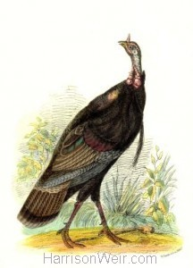 1958 Wild American Turkey by Harrison Weir