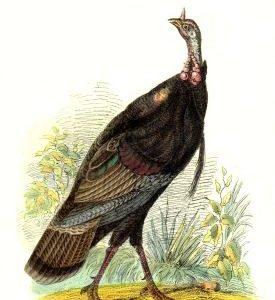 1958 Wild American Turkey by Harrison Weir