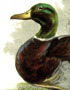 Detail: 1859 Rouen Drake by Harrison Weir
