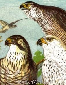 Detail: c1861 Peregrine Falcon & Goshawk by Harrison Weir