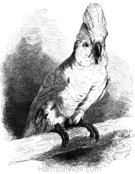 1860 Great White Cockatoo by Harrison Weir