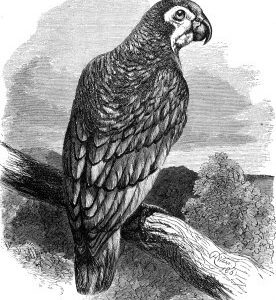 1860 Green Parrot by Harrison Weir