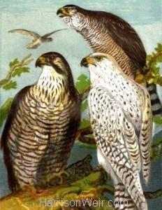 1860 Peregrine Falcon & Goshawk by Harrison Weir
