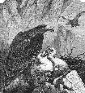 1860 Eagles and Nest by Harrison Weir