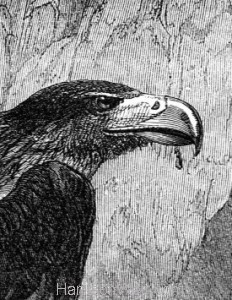 Detail 3: 1860 Eagles and Nest by Harrison Weir