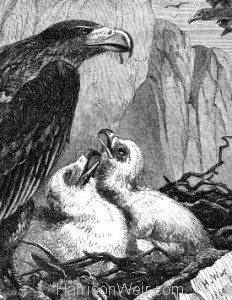 Detail: 1860 Eagles and Nest by Harrison Weir