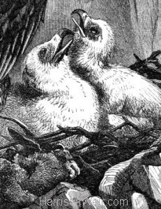 Detail 4: 1860 Eagles and Nest by Harrison Weir