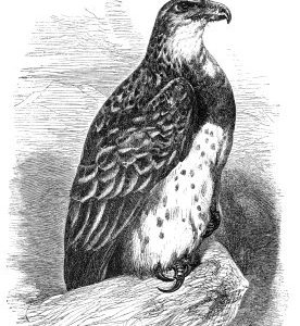 1860 Martial Eagle by Harrison Weir