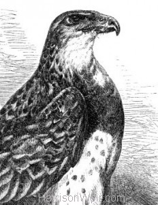 Detail: 1860 Martial Eagle by Harrison Weir