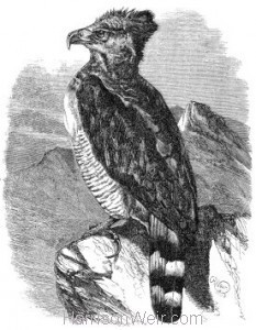 1860 Crested or Harpy Eagle by Harrison Weir