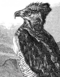 Detail 1860 Crested or Harpy Eagle by Harrison Weir