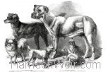 1861 Prize Dogs at the Leeds Show, by Harrison Weir