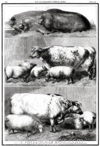 Full Page Image: 1861 Prize Cattle at the Smithfield Club Cattle Show